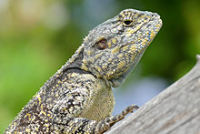 Blue-throated Agama (Acanthocercus atricollis) female (17380401761).jpg
