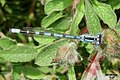 Blue damselfly (FG) (13990094987).jpg