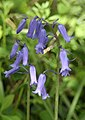 Bluebells (Hyacinthoides non-scripta (L.)) - geograph.org.uk - 1298270.jpg