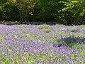 Bluebells in Book Hurst - geograph.org.uk - 1858491.jpg