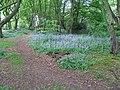 Bluebells in Lucas Wood North - geograph.org.uk - 492007.jpg