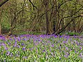 Bluebells in Parkwood - geograph.org.uk - 5615.jpg