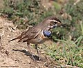 Bluethroat Bird spotted at Basai Wetland.jpg