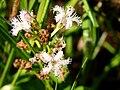 Bog bean flower. August 1, 2012 (78f0b18446084b099b26d487ecf02d65).JPG