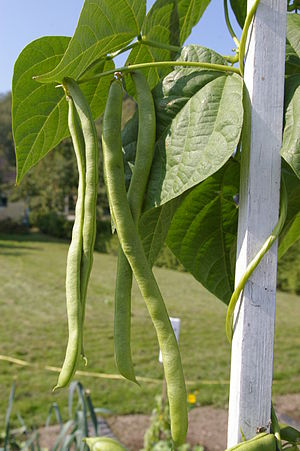 English: runner beans