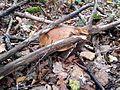 Boletus edulis, cèpe de bordeaux 6.jpg