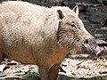 Bornean Bearded Pig (14134086066).jpg