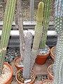Borzicactus hystrix - University of California Botanical Garden - DSC08849.JPG