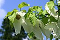 BotGartenMuenster Taschentuchbaum 6666.jpg