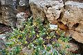 Botanic garden 15 ballota.jpg