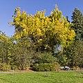 Botanischer Garten Berlin-Dahlem 10-2014 photo14 Juglans microcarpa.jpg