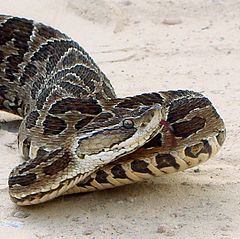 Bothrops alternatus