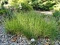 Bouteloua racemosa - Botanical Garden, University of Frankfurt - DSC02534.JPG