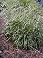 Brachypodium sylvaticum.jpg