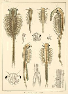 Branchinecta paludosa (plate)