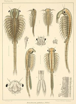 Anostraca - Anatomical drawings of Branchinecta paludosa (Branchinectidae) from Georg Ossian Sars' Fauna Norvegiae (1896)