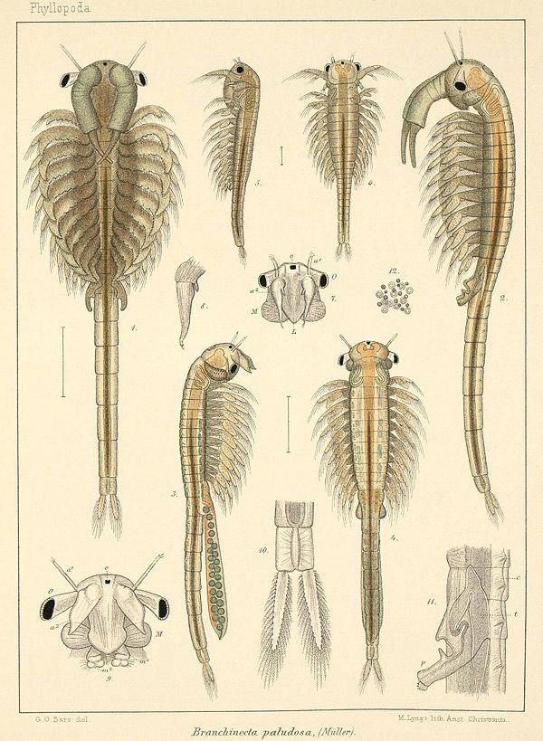Brine Shrimp Anatomy