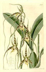 Brassia caudata.jpg