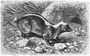 Stink badger - M. javanensis