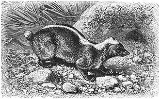Sunda stink badger - Image: Brehms Het Leven der Dieren Zoogdieren Orde 4 Stinkdas (Mydaus meliceps)
