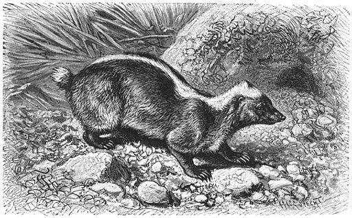 Brehms Het Leven der Dieren Zoogdieren Orde 4 Stinkdas (Mydaus meliceps)
