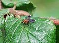 Brightly-coloured fly (2620913410).jpg