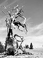 Bristlecone White Mountains.jpg