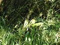 Bromélia na base de uma árvore 4.jpg