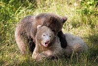 Brunbjorn fotograferad pa Polar Zoo Norge (20).jpg