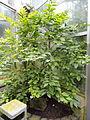 Brunfelsia pauciflora - Palmengarten Frankfurt - DSC01791.JPG