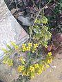 Bryophyllum Flower by Hatem Moushir 2.jpg