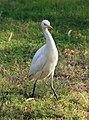 Bubulcus ibis R03.jpg