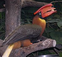 Buceros hydrocorax eating.jpg