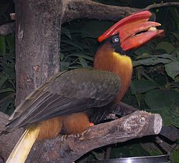 Buceros hydrocorax eating