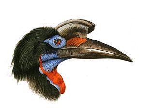 Abyssinian ground hornbill - Image: Bucorvus abyssinicus Wytsman