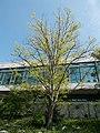 Buda Arboreta. Upper garden. Silver linden (Tilia tomentosa). - Budapest.JPG