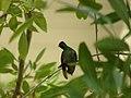 Buff-Bellied Hummingbird Sitting On A Branch 002.jpg