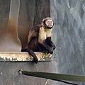 Buffy-headed Capuchin at Chester Zoo 2.jpg