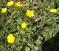 Bulbous Buttercup (Ranunculus bulbosus) - Flickr - Jay Sturner (1).jpg