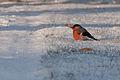 Bullfinch(js) Lodz(Poland)03.jpg