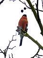 Bullfinch (7181662712).jpg