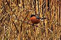 Bullfinch - RSPB Fowlmere (16008927339).jpg