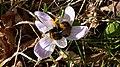 Bumble bee and crocus at Woolbeding - geograph.org.uk - 1186844.jpg