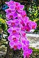 Bunga Anggrek merona.jpg