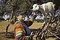 Bunny tickles goat (23926165995).jpg