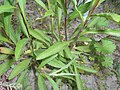 Buphthalmum salicifolium 2016-05-31 2154.jpg