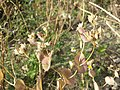 Bupleurum rotundifolium sl45.jpg