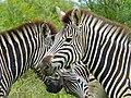 Burchell's Zebras (Equus quagga burchellii) (13645678163).jpg