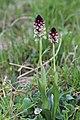 Burnt-tip Orchid - Neotinea ustulata - panoramio (17).jpg