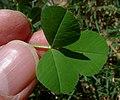 Burr Medic (Medicago polymorpha) leaves about 16 mm across (9645918952).jpg
